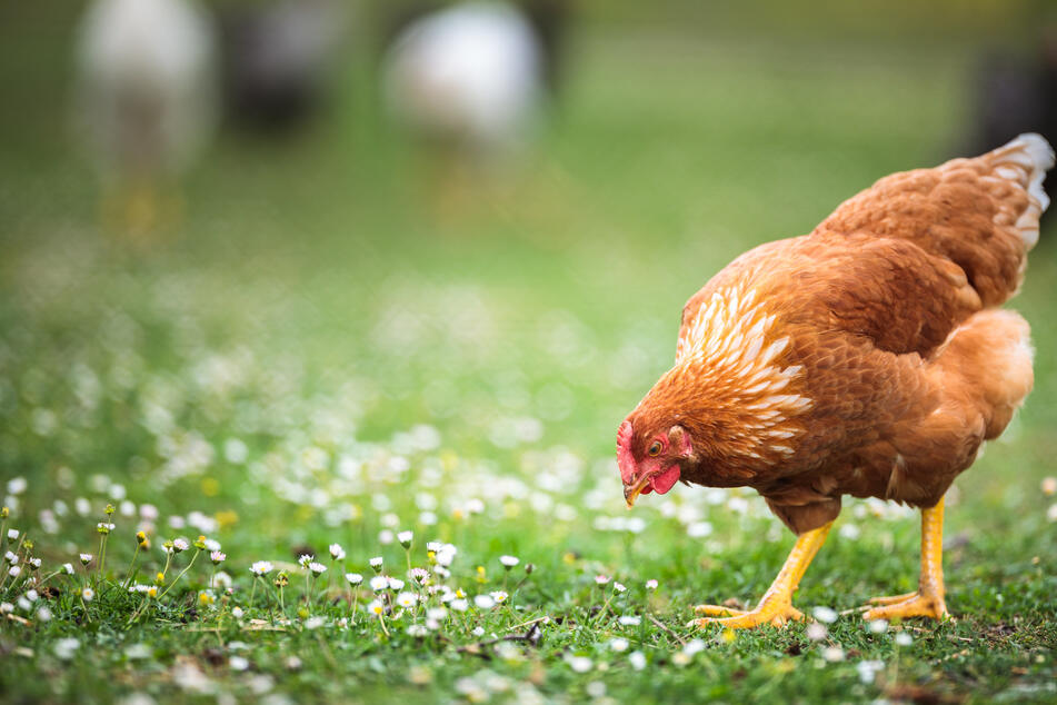 Die Besitzerin konnte ihre Hühner gerade noch retten. (Symbolbild)