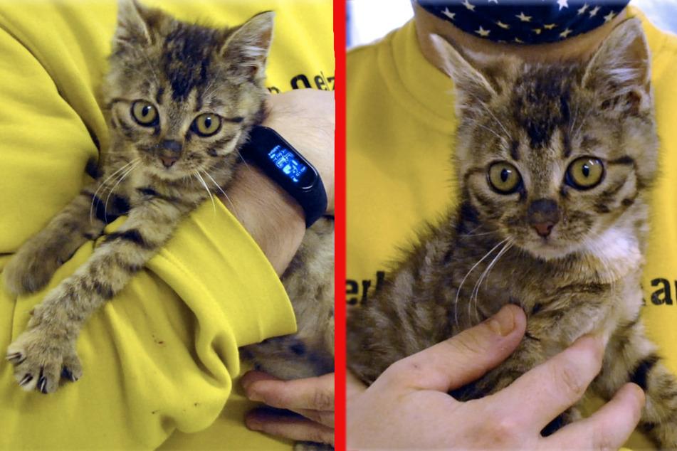"""Blind, aber lebensfroh: Niedliches Kätzchen """"Harmaa"""" sucht nach neuem Zuhause"""
