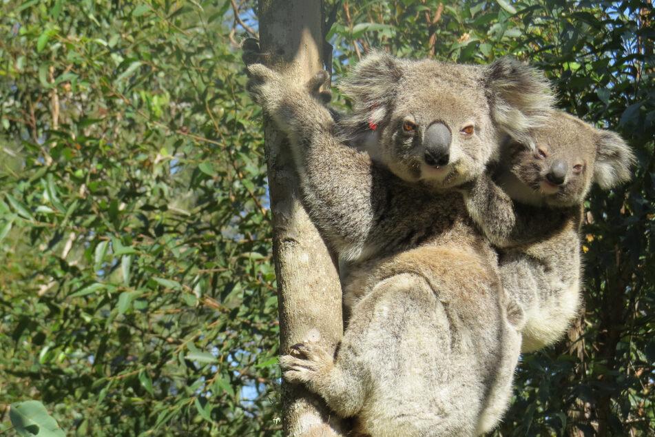 Süße Tiere in großer Gefahr: Zahl der Koalas in Australien sinkt dramatisch!