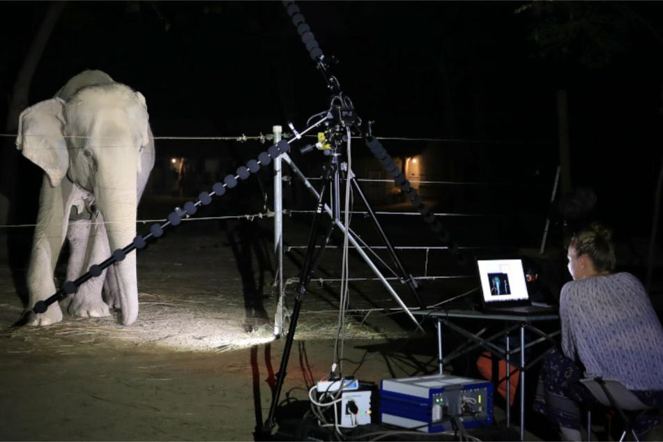 Die Forscher warten geduldig vor den aufgebauten Mikrofonen, dass der Elefant einen Laut von sich gibt.