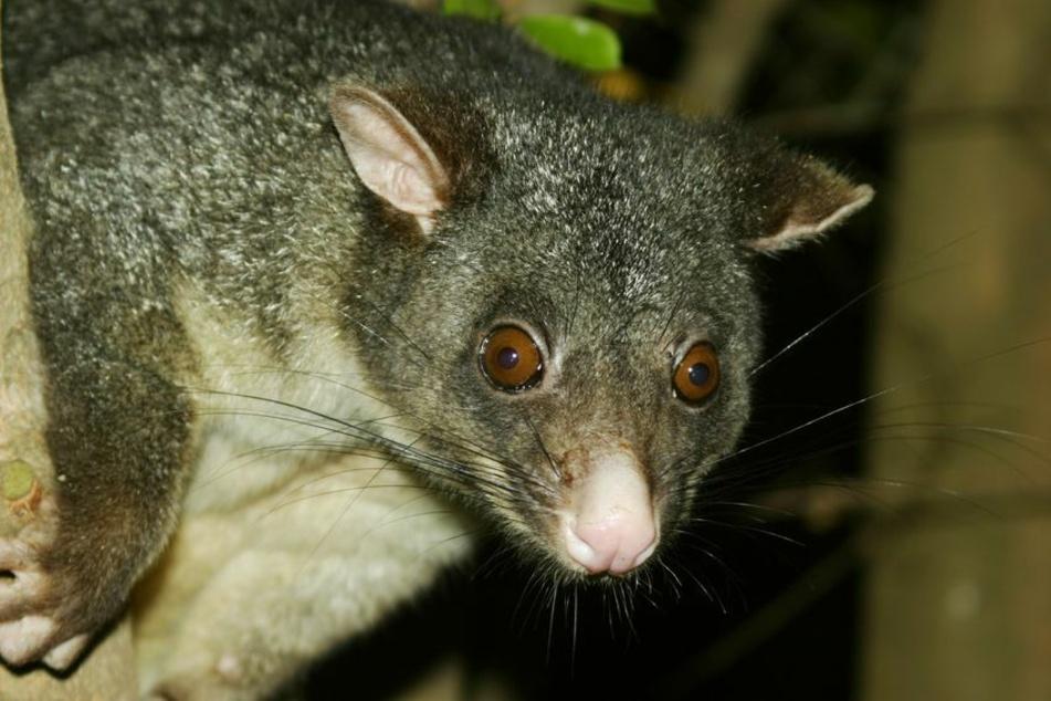 Opossums verstecken sich meistens auf Bäumen.