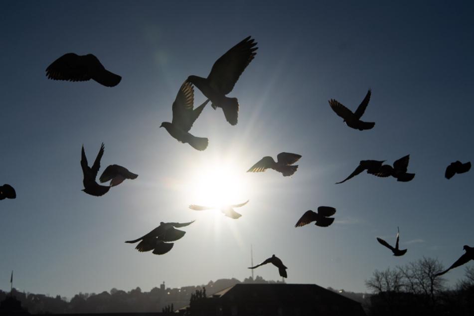 Tauben in der Corona-Krise: Sollten sie gefüttert werden?