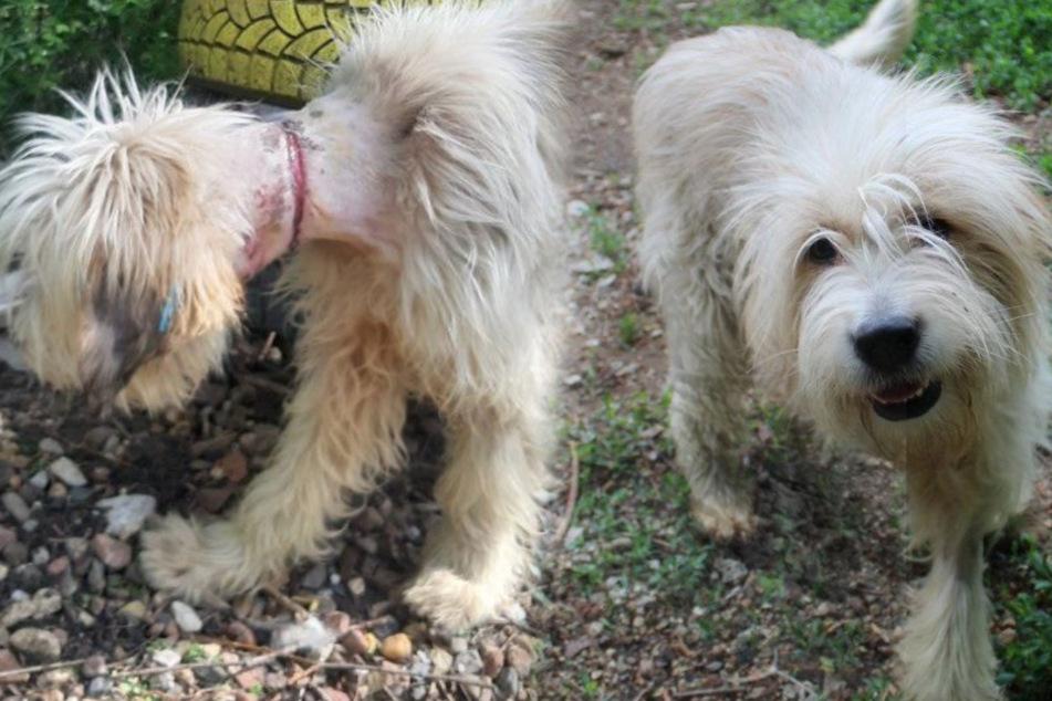 Hund trug enge Schnur und atmete nur noch durch Loch in seinem Hals