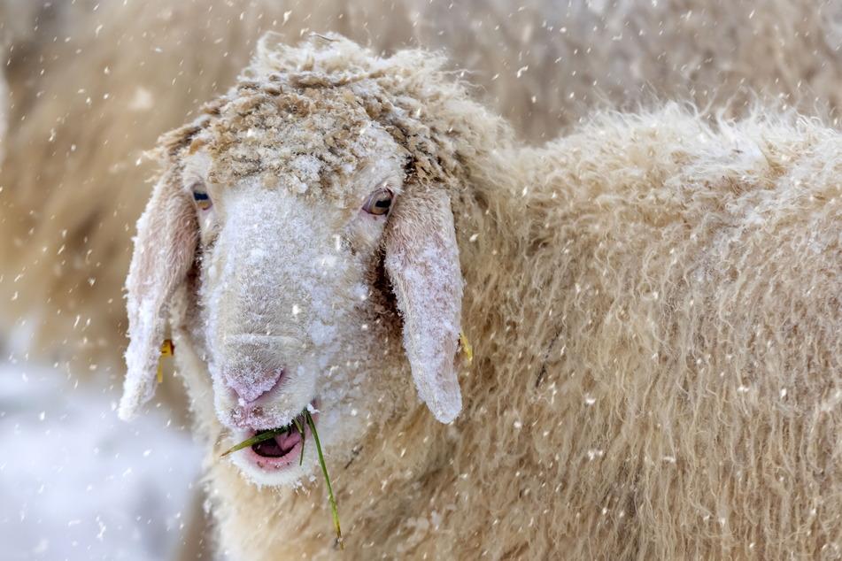 Auch bei Minusgraden fühlen sich die Schafe in der Natur pudelwohl.