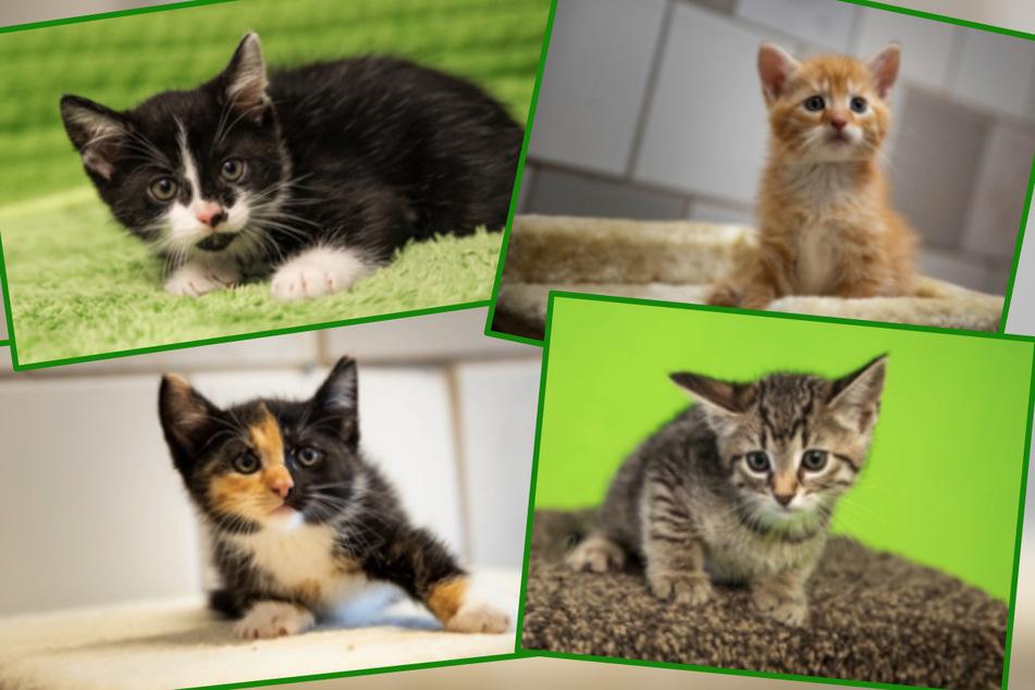 Das sind nur vier der 15 Katzenkinder, die ab Anfang Juli im Tierheim Oelzschau vermittelt werden sollen.