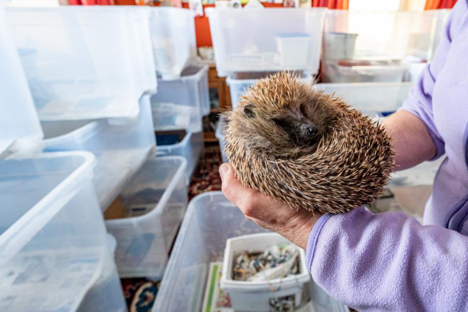 Heißhunger nach Winterschlaf: 170 Igel erwachen in Tierstation