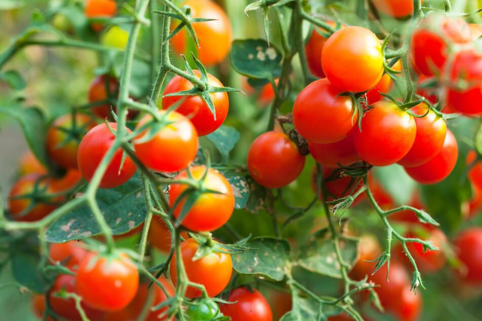 Das Laub von Tomatenpflanzen soll einen für Mücken unangenehmen Geruch verströmen - das lässt sich zunutze machen!