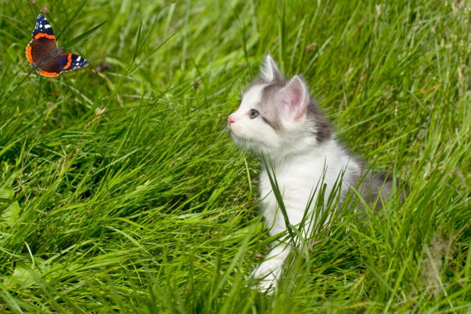 Zwölf Jahre lang lebte Georgie mit Park-Rangern zusammen, die nicht wussten, woher die Katze kam. (Symbolbild)