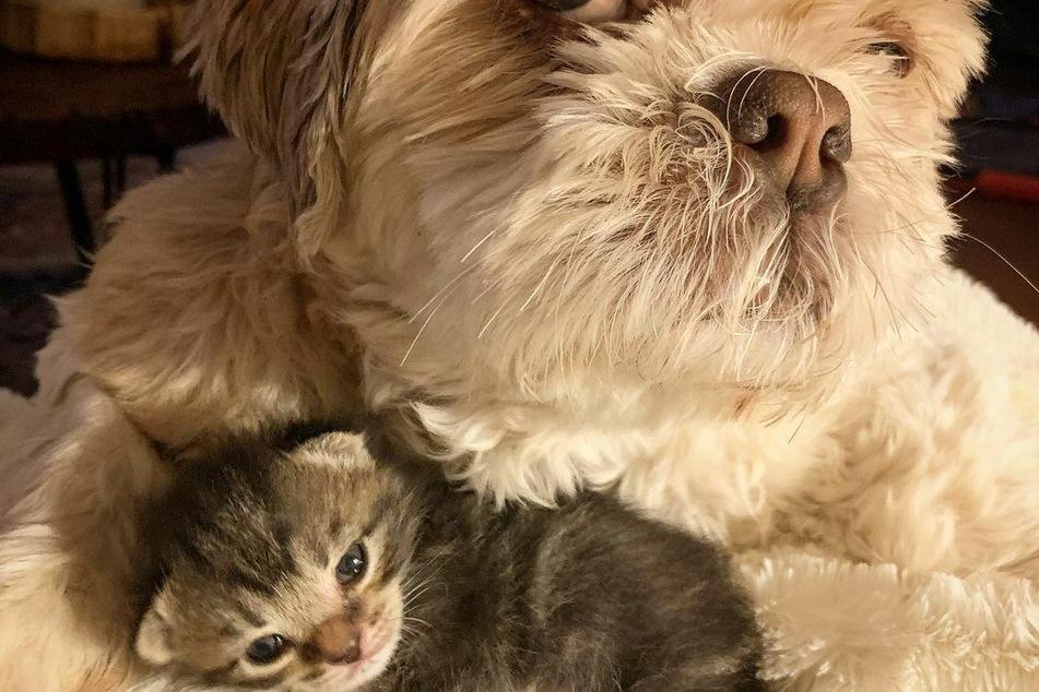 Hund Moon kümmert sich der OP rührend um die Katze.