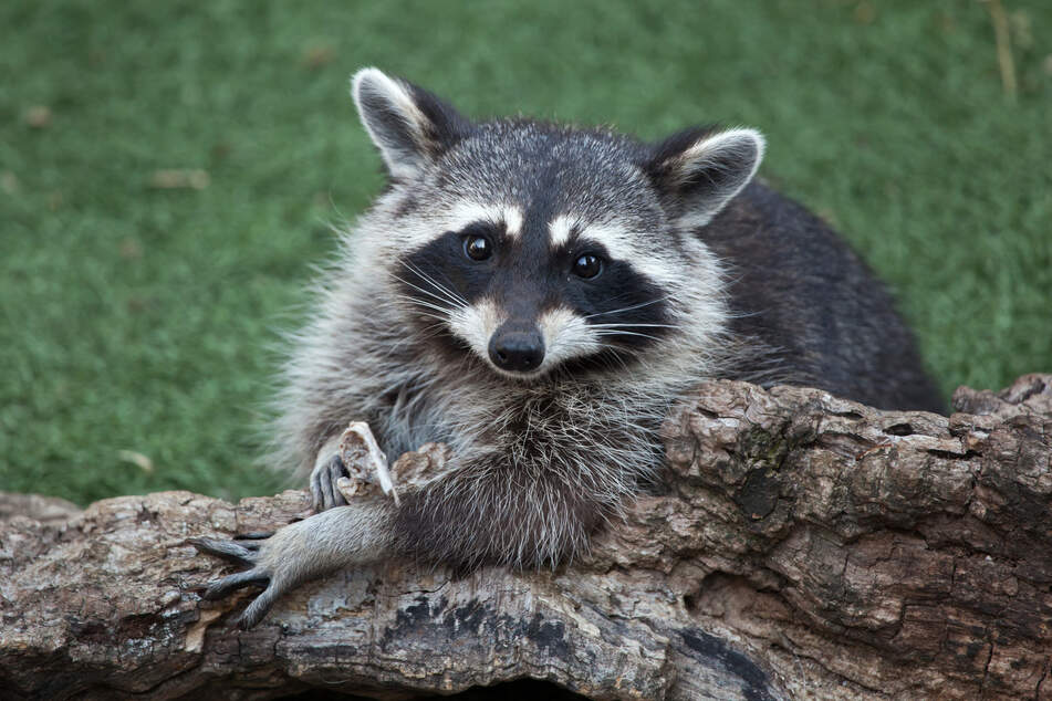 Raccoons can be a real pain (stock image).