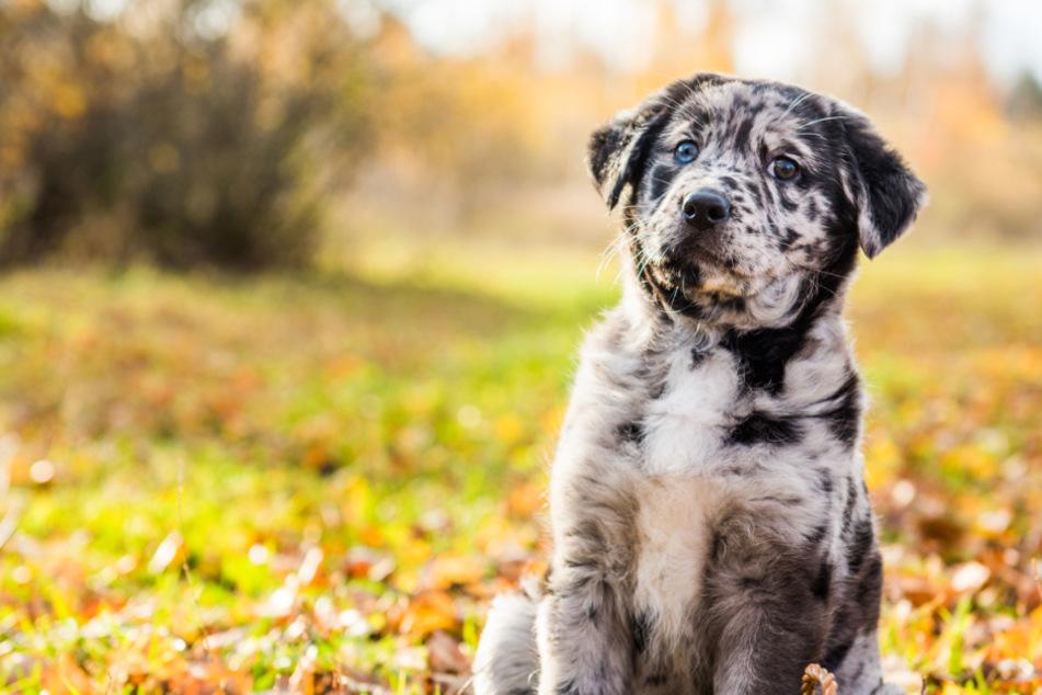 Schnoodle, Pomsky und Co.: Sind diese Hunderassen ein schlechter Scherz?