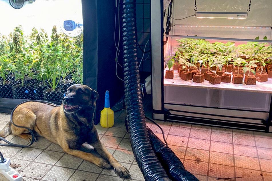 Drogenspührhund Jimmy fand die Plantage.