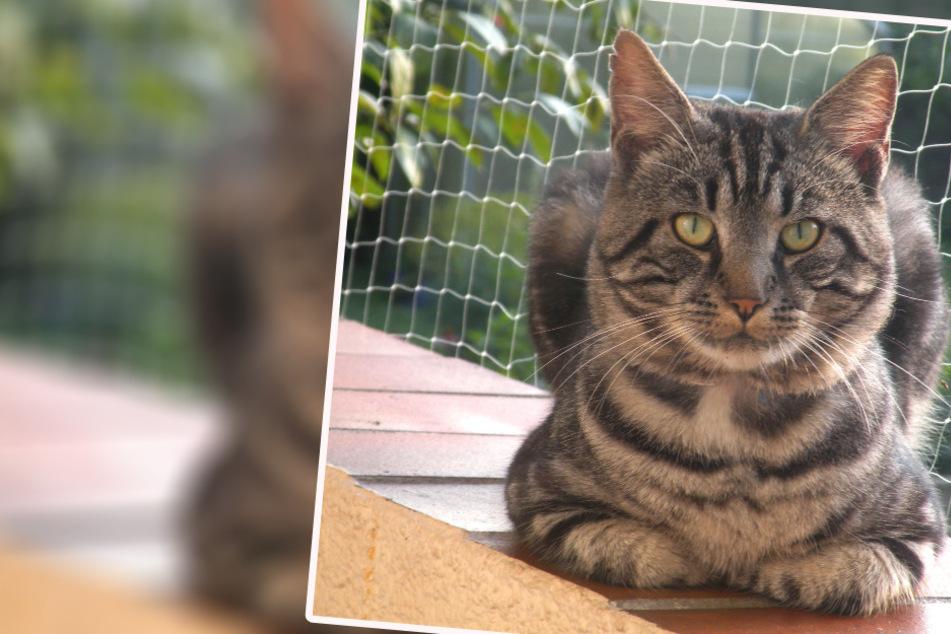 Tierarzt zum Fall der belgischen Corona-Katze: Von Haustieren geht keine Gefahr aus