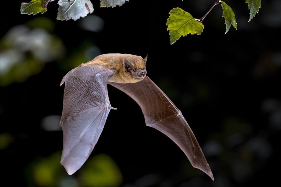 Leiser Segler: Eine Fledermaus.