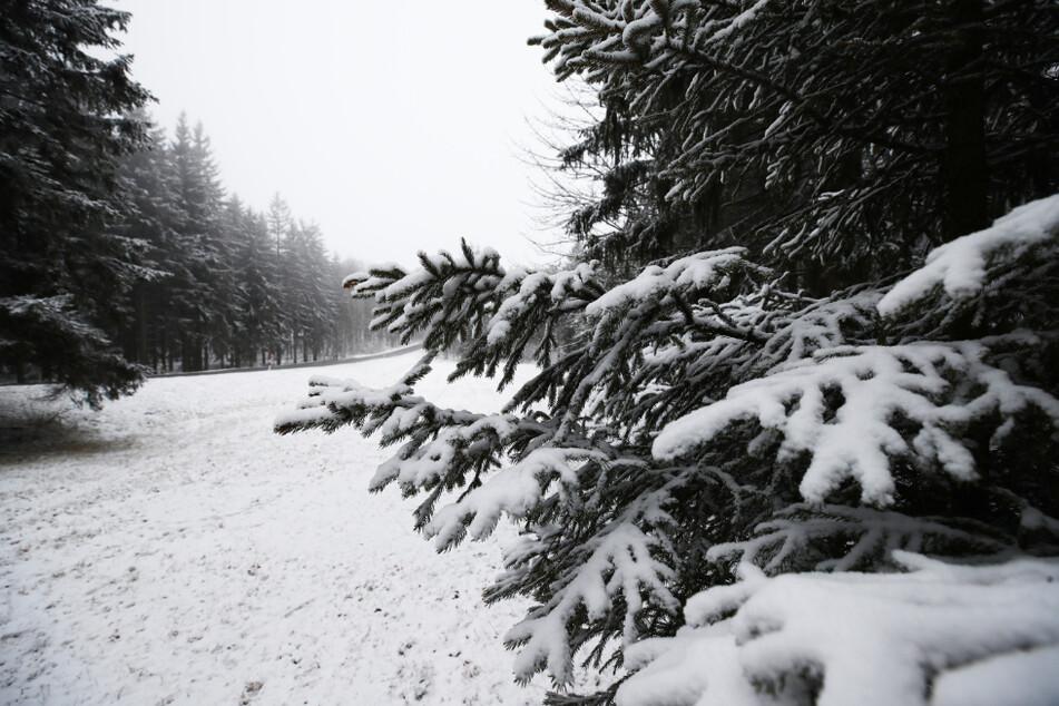 Schneebedeckte Tannenbäume stehen am Rennsteig im Thüringer Wald.