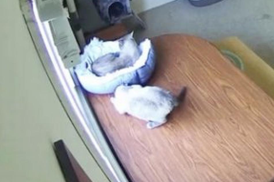 Noch ahnt die eine Katze nicht, dass sie gleich auf dem Fußboden landen wird.