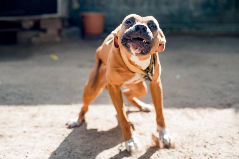 Der Hund hatte es offenbar auf den kleinen Yorkshire Terrier im Fahrrad-Korb abgesehen (Symbolbild).