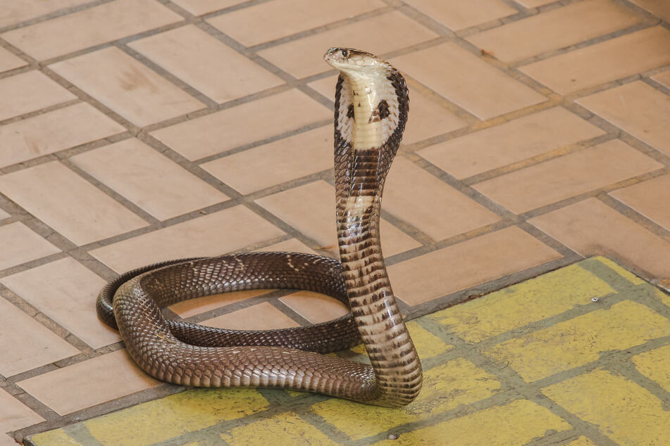 King cobra bites can be fatal (stock image).