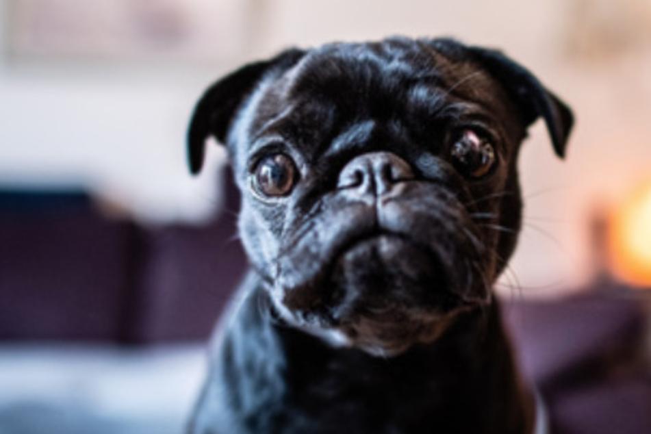 Tierschutz-Beauftragte warnt: Hunde sind keine Lösung für Lockdown-Langeweile!