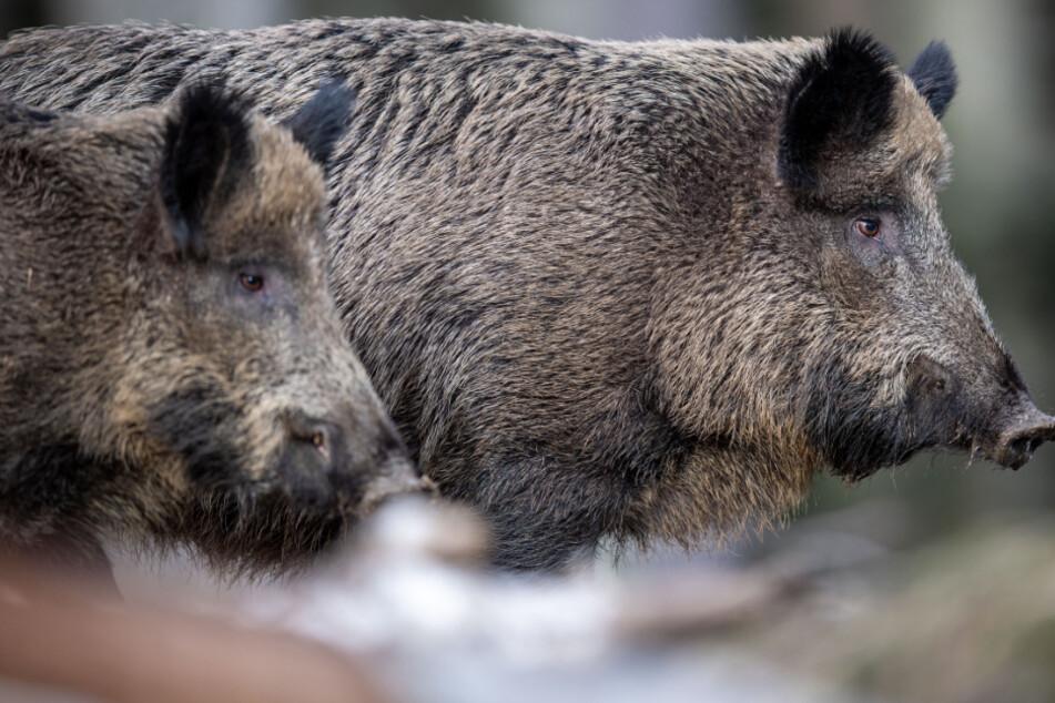 Mitten in der Stadt: Wildschwein rennt drei Grundschüler über den Haufen