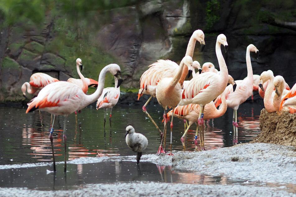 Zwei Flamingobabys sind schon da, weitere sollen bald schlüpfen.