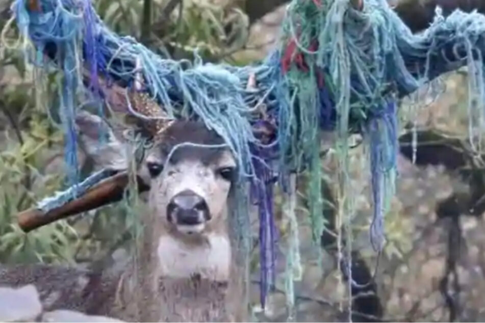 The poor deer had a colorful hammock stuck to its antlers for nearly six months.