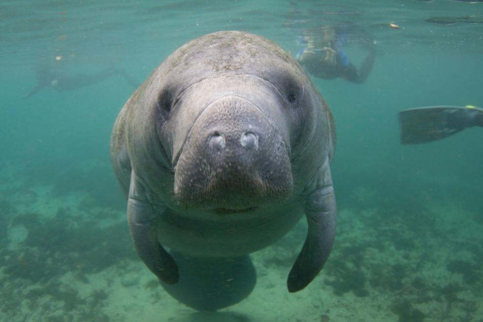 Seekühe sind seit 1978 auch im US-Bundesstaat Florida geschützt. (Symbolbild)