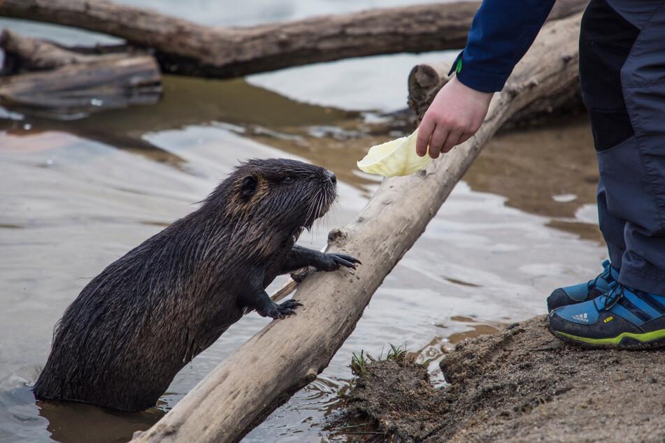 Aus falsch verstandener Tierliebe füttern manche Anwohner die Nutrias.