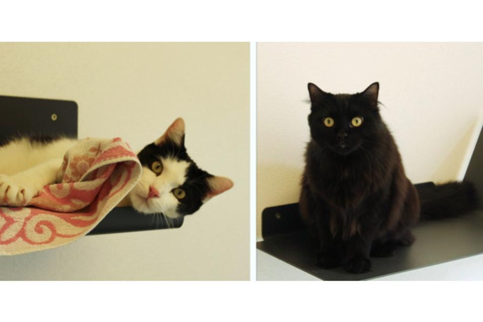 Siam-Mischlingskater Kater Rocky und Siam-Maine Coon Katze Muffin.