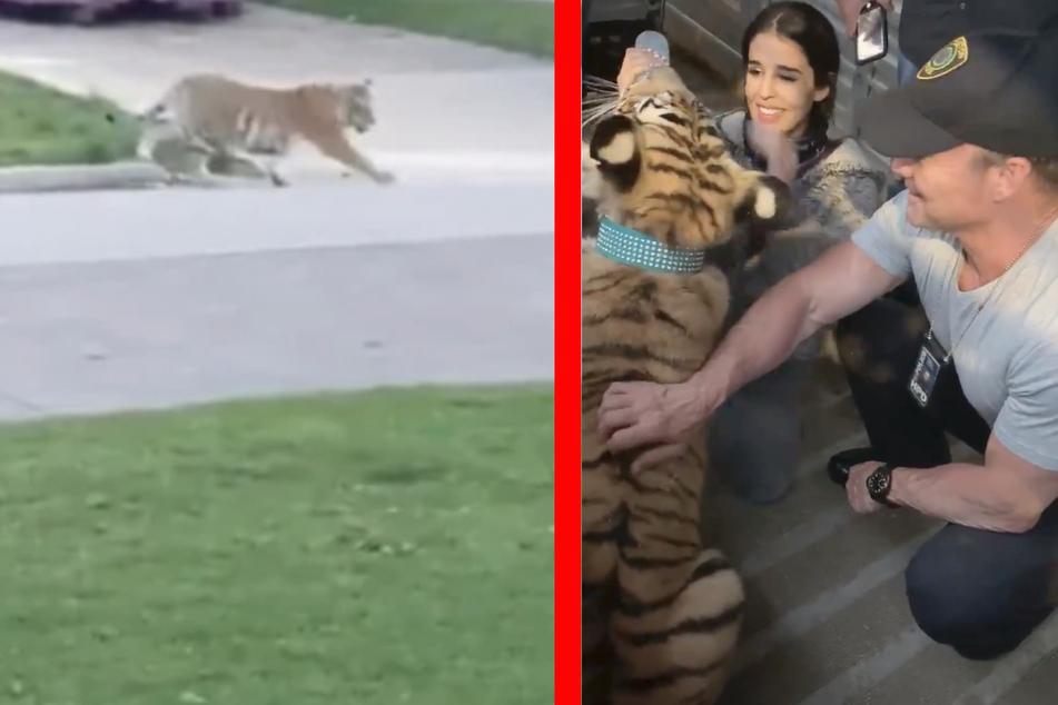 Polizei findet vermissten Tiger nach tagelanger Suche: Besitzer (26) festgenommen