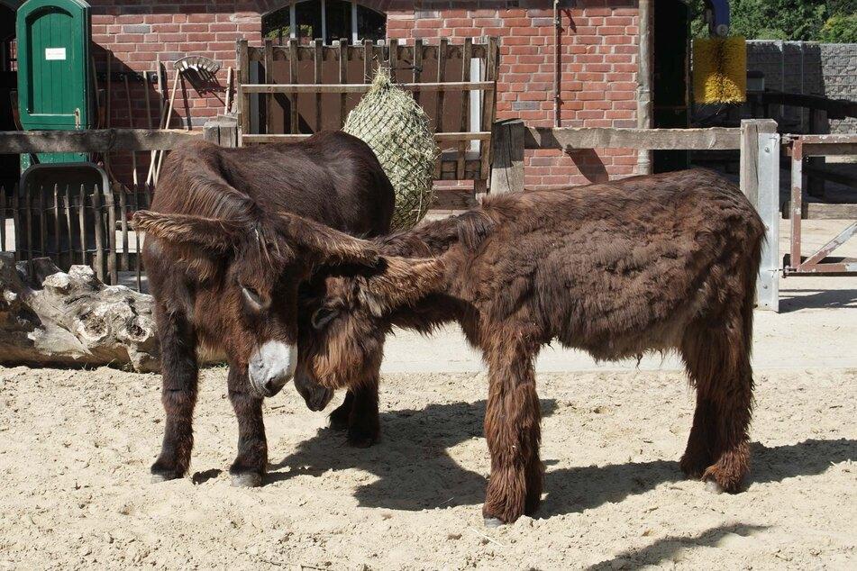 Die beiden Poitou-Esel stammen aus dem Archehof Ellermann am Steinhuder Meer in Niedersachsen.