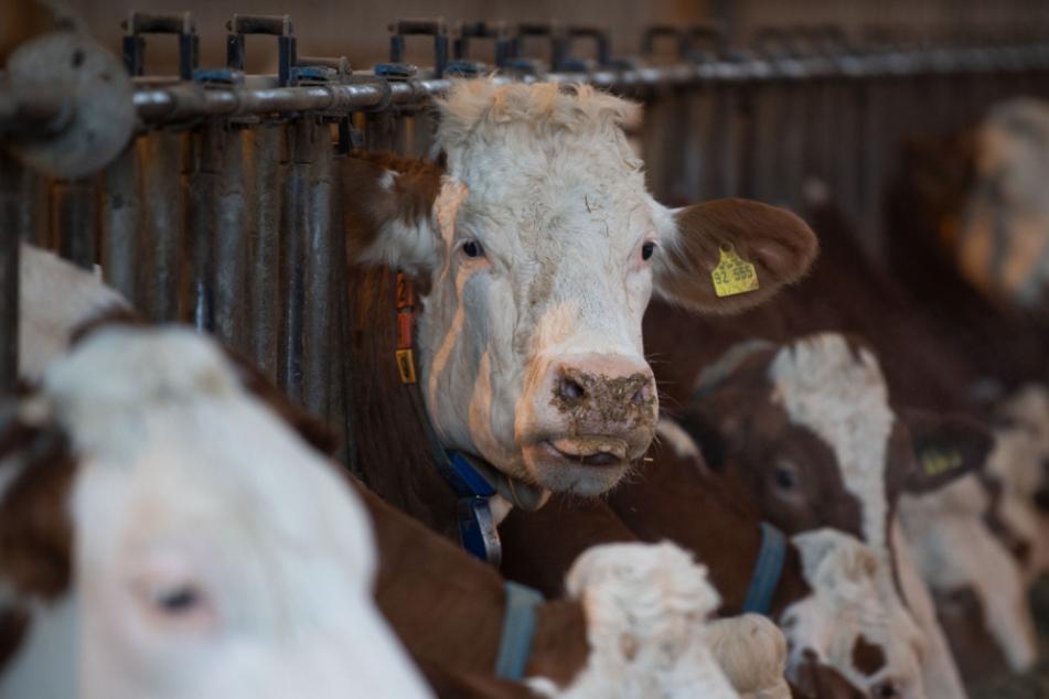 Stall brennt: Rund 70 Rinder sterben, fast Million Schaden