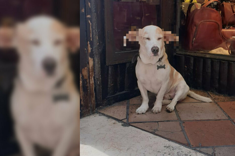 Oh, what ears you have! This dog will remind you of a Harry Potter character