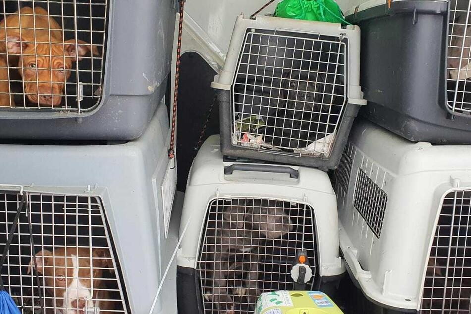 Haustier-Führerschein und Positivliste: Schluss mit Bulldogge, Mops und Chihuahua