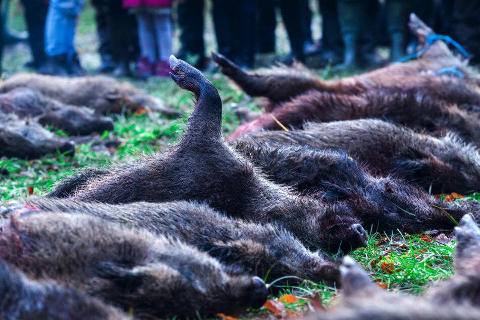 Bisher grassierte die Afrikanische Schweinepest nur unter Wildschweinen, die aus diesem Grund entlang der polnischen Grenze verstärkt von Jägern erlegt worden sind.