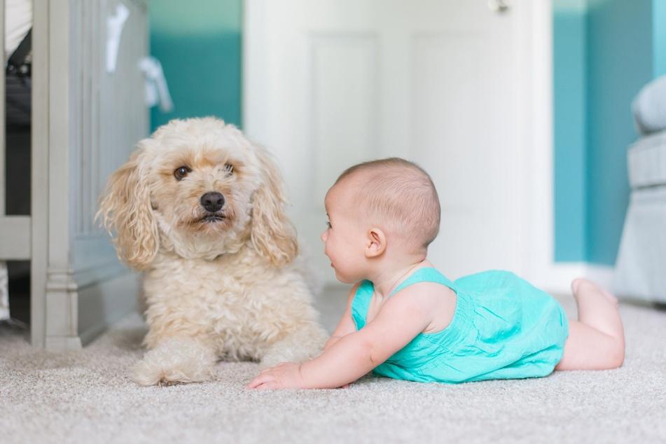 Kommt ein Baby in die Familie, ist der Hund neuen Stressfaktoren wie Schreien, andere Gerüche und ungewohntes Verhalten der Besitzer ausgesetzt.