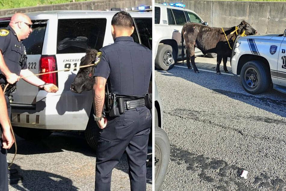 Auf ihrem Twitter-Kanal zeigen die US-amerikanischen Polizisten Bilder von dem kuriosen Zwischenfall.