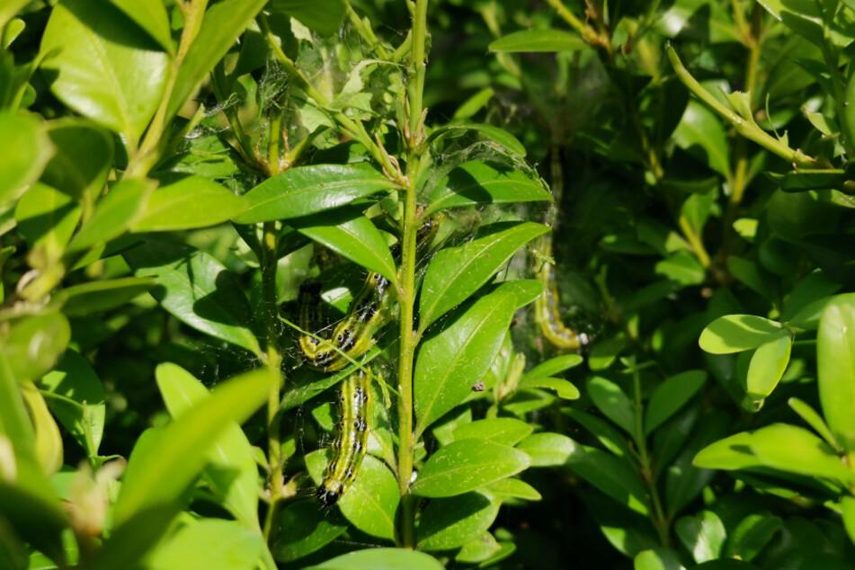 Gleich drei Raupen fressen sich durch diesen Buchsbaum.