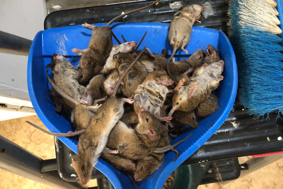 Coonamble: Tote Mäuse liegen auf einer Kehrschaufel. Das Outback im Osten Australiens hat in den vergangenen Jahren so ziemlich jede Plage erlebt.