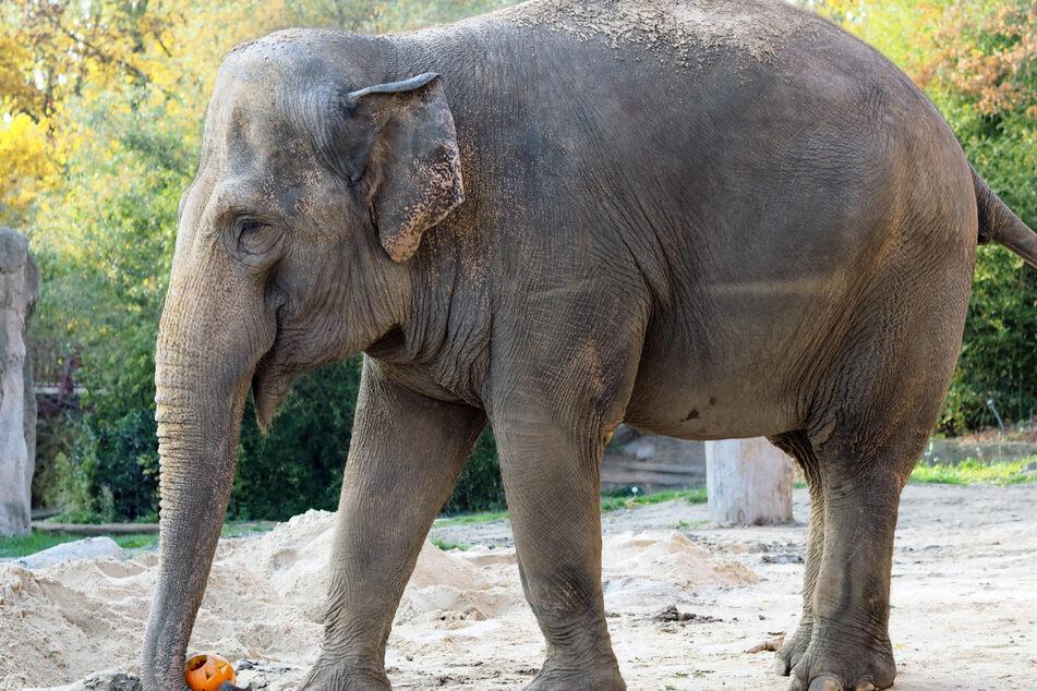 Elefantenkuh Saida zog von Leipziger Zoo nach Karlsruhe um, wo sie in einer Altersresidenz leben wird.