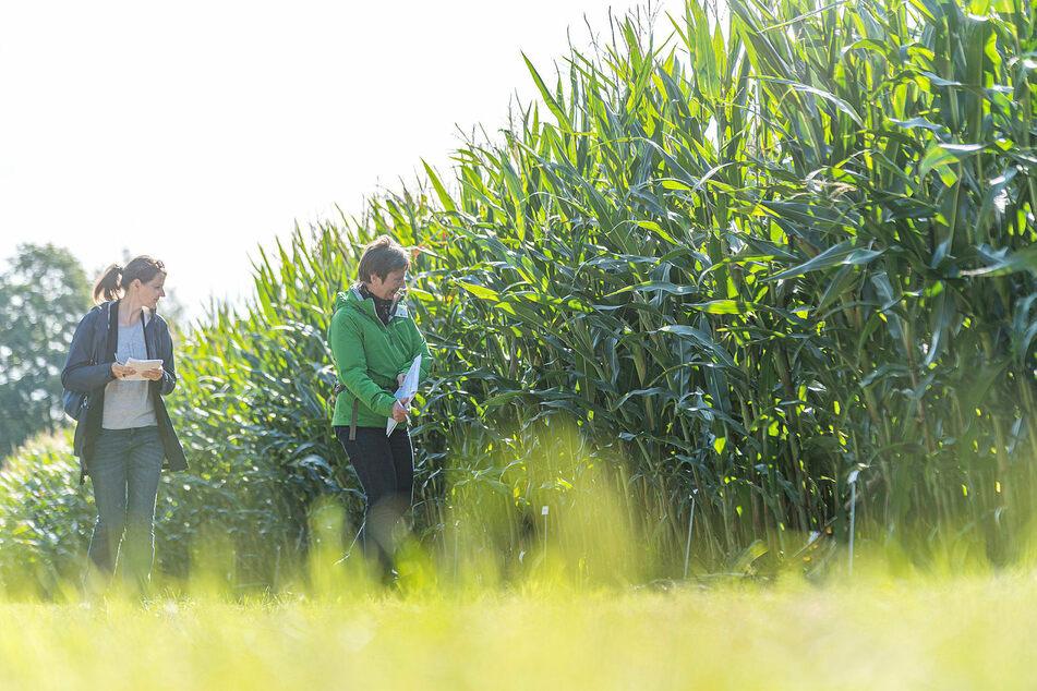 Zum Feldtag stand der Mais noch saftig grün da. Damit er geerntet werden kann, muss die Pflanze aber einen Trockengehalt von 33 bis 35 Prozent haben.