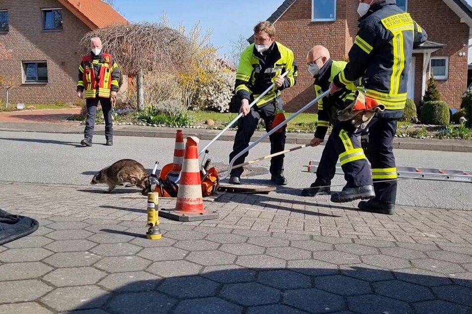 Augenscheinlich unversehrt wurde der Waschbär am Donnerstag von der Feuerwehr Herford befreit. Er flitzte davon und verschwand im Garten eines benachbarten Hauses.