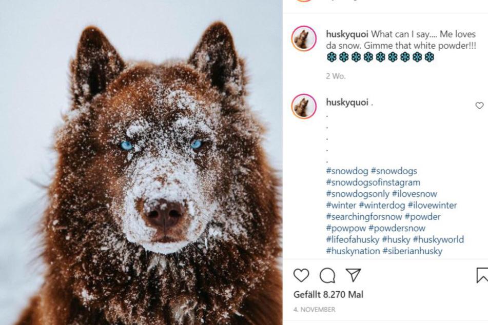 Für viele ein Wolf: Siberian Husky SeQuoi Tenk.
