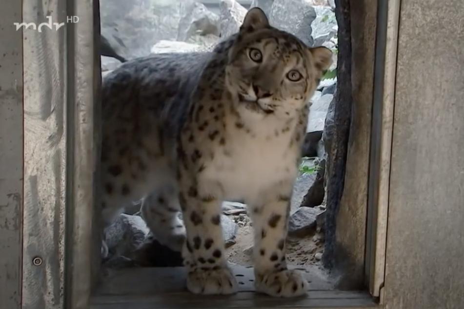 Chandra hat aktuell alle Pfoten mit der Aufzucht ihrer Jungtiere zu tun.