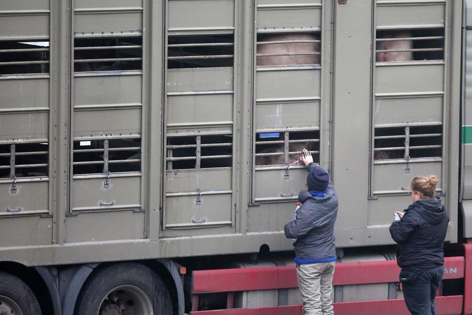 Lage extrem schwierig: Hier warten 40.000 Schweine auf die Schlachtung