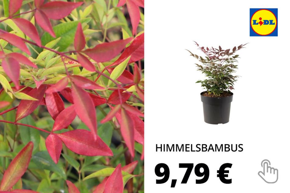 Himmelsbambus (Nandina domestica)