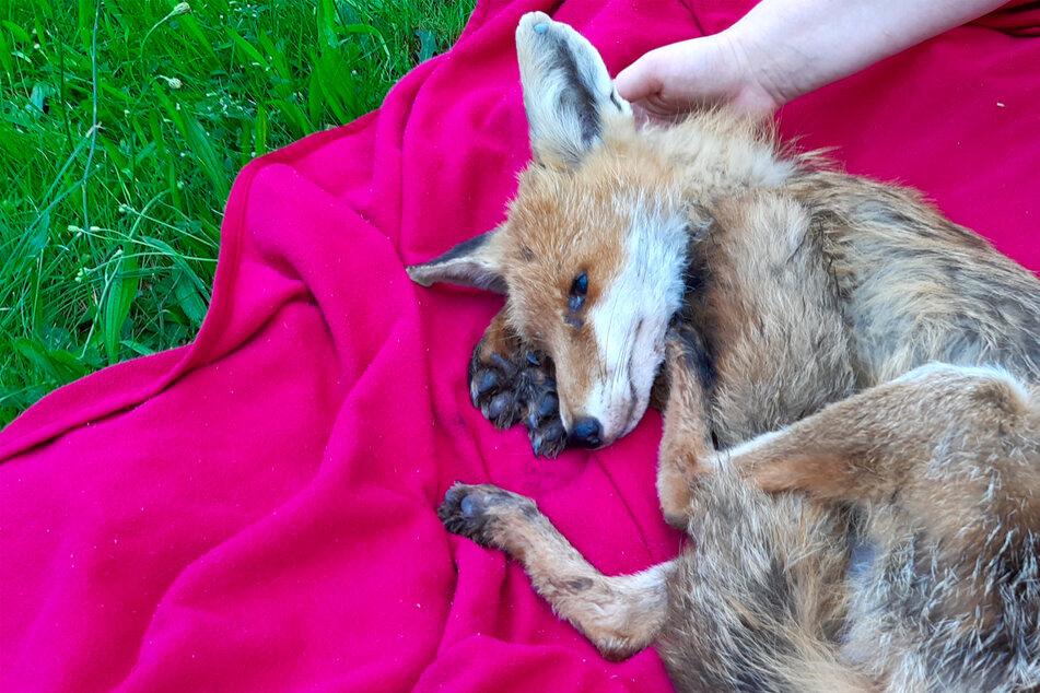 Leipzig: Füchse im Leipziger Stadtgebiet! Experten raten zu Impfungen Eurer Hunde