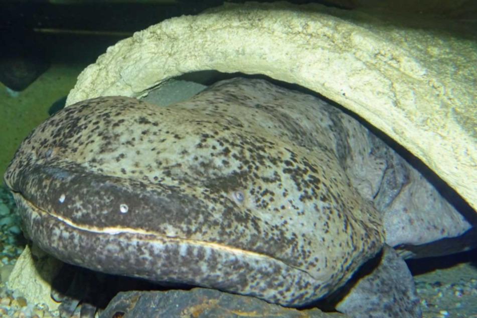 Auch der Chinesische Riesensalamander wurde tot in seiner Anlage entdeckt.