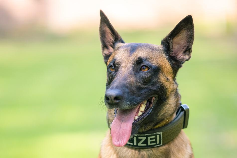 Köln: Einbrecher legt sich mit Polizeihund an und muss ins Krankenhaus
