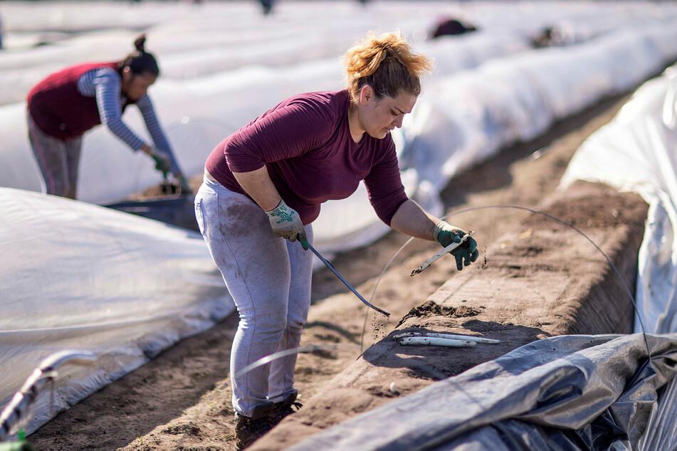 """Erntehelfer sind auf den Lohn angewiesen, """"da sie in den Heimatländern keine Verdienstmöglichkeiten sehen""""."""